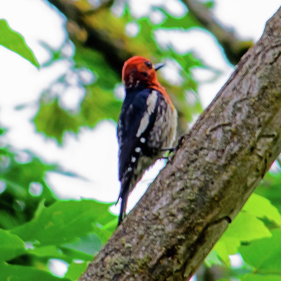 Woody Woodpecker by Tikvah's Hope