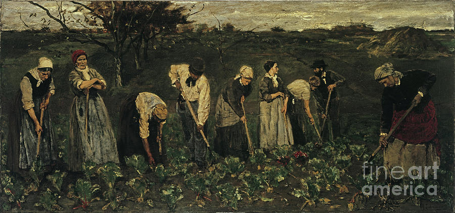 Workers On The Beet Field. Artist Drawing by Heritage Images