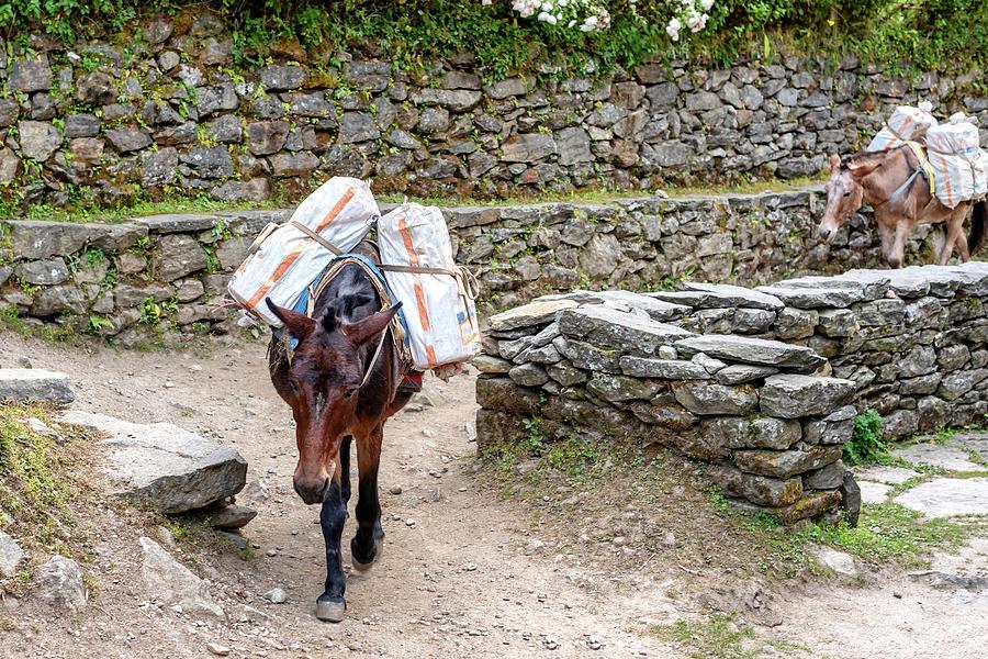 Working Horse Near Phakding In Nepal Photograph
