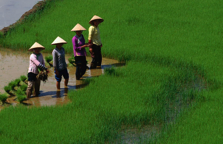 Working The Rice Paddies Of Northern Photograph by Oliver Strewe