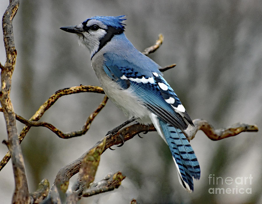 Works For Peanuts - Blue Jay Photograph