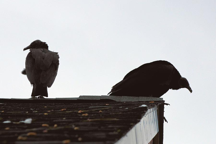 Wow Vultures On The Roof Photograph
