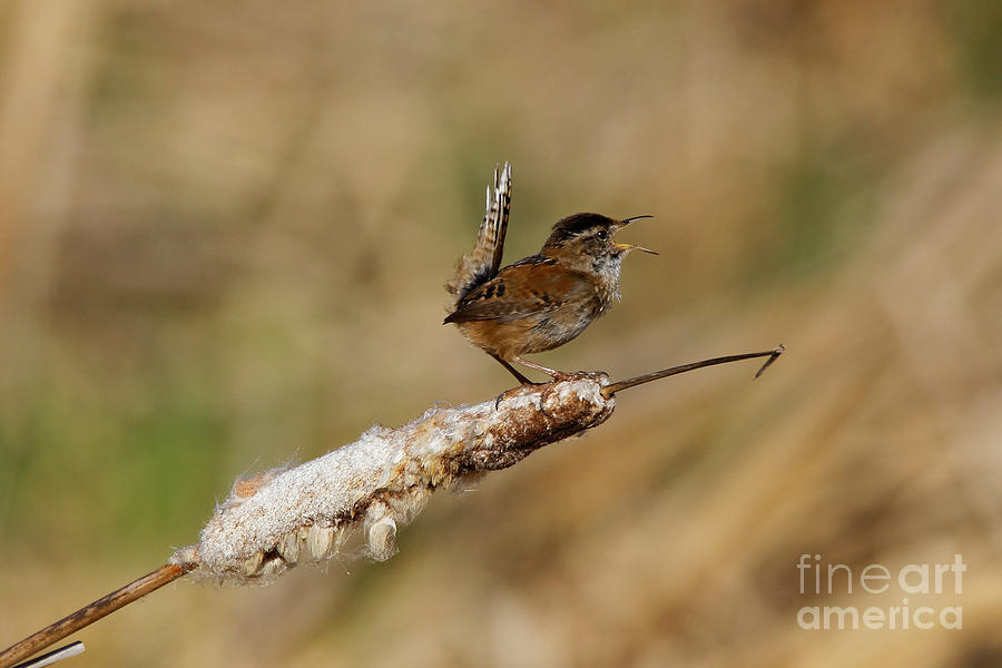Wren Strong Song by Sue Harper