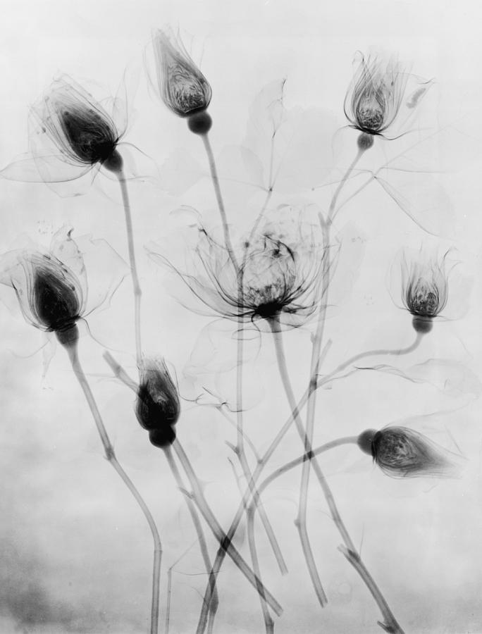 X-ray Eight Roses Photograph by Edward Charles Le Grice