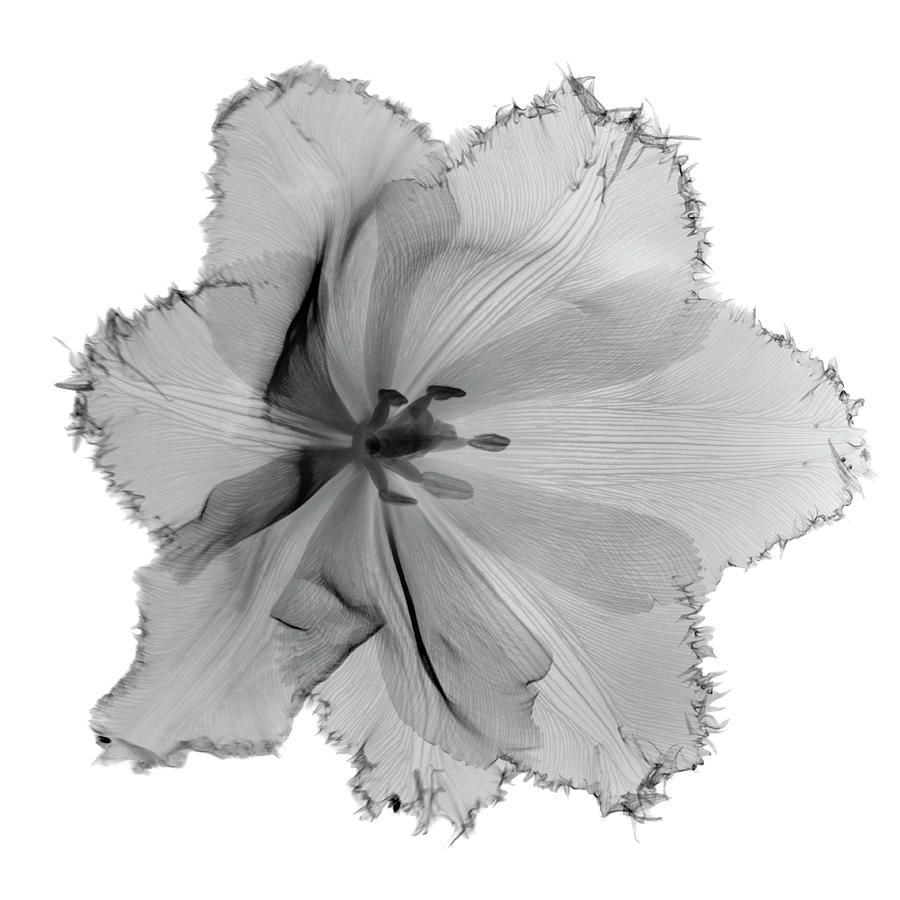 X-ray Image Of Tulip Flower Head On Photograph by Nicholas Veasey