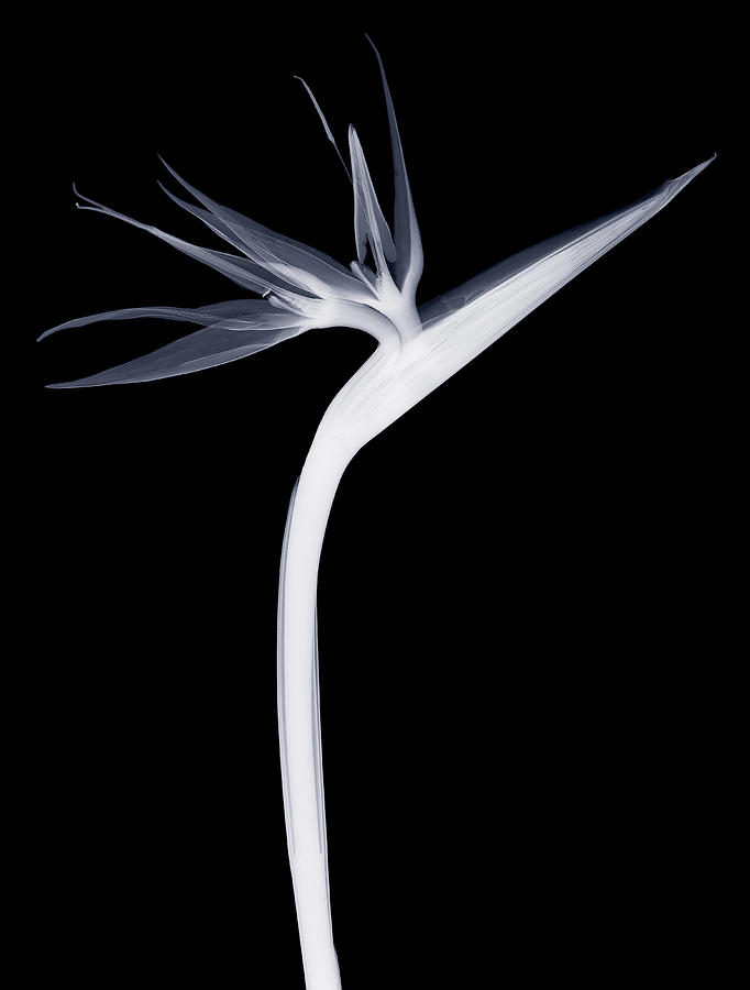 X-ray Of Crane Flower Strelitzia Reginae Photograph by Nicholas Veasey