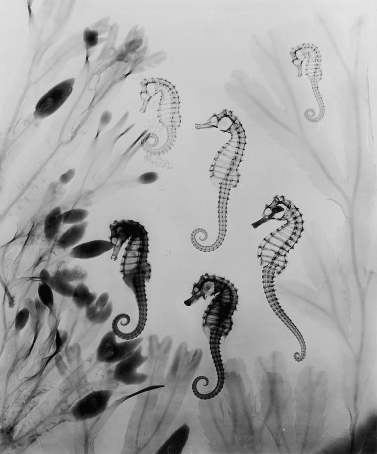 X-ray Seahorses Photograph by Edward Charles Le Grice