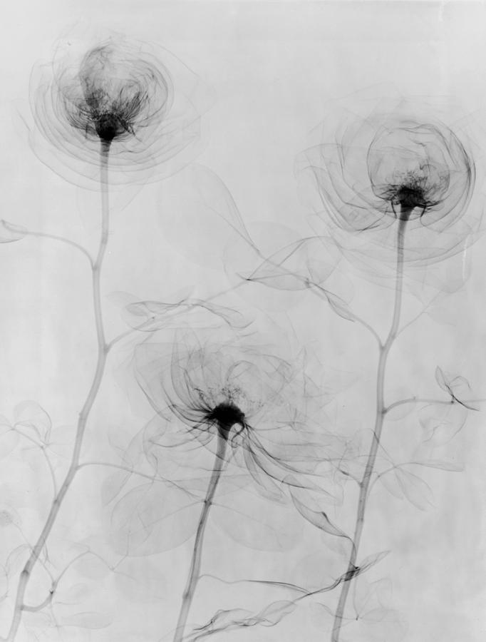 X-ray Three Roses Photograph by Edward Charles Le Grice