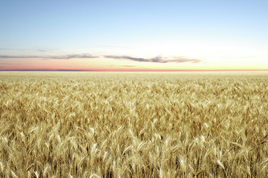 Xxl Wheat Field Twilight Photograph by Sharply done