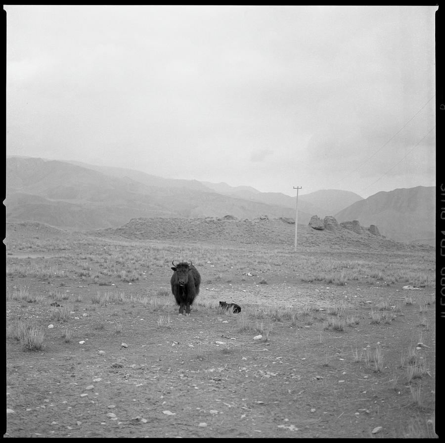 Animals In The Wild Photograph - Yak In Grassland by Oliver Rockwell
