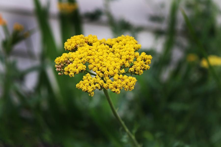 Yarrow by Michiale Schneider