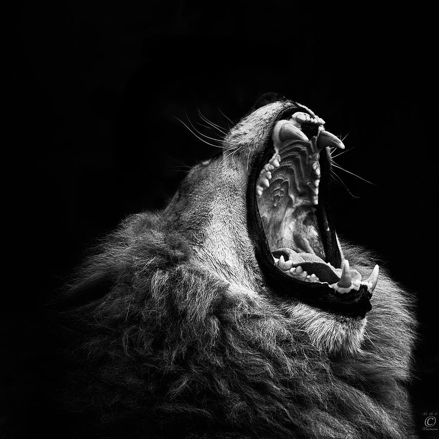 Yawning Lion Photograph by © Christian Meermann