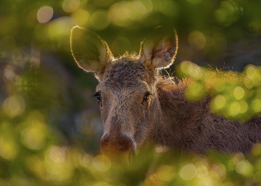 Yearling Moose in the Forest by Gary Kochel