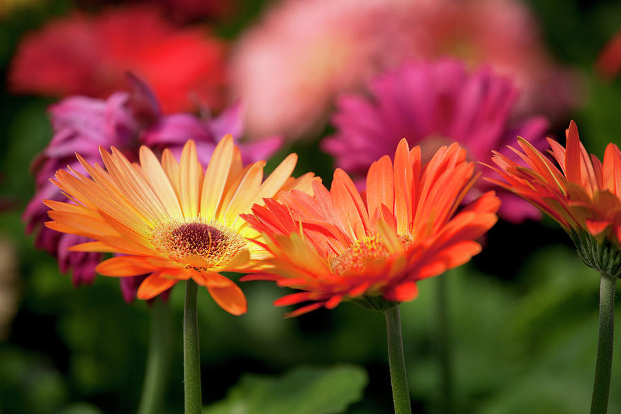 Yellow And Orange Gerbera Daisies Photograph by Wholden