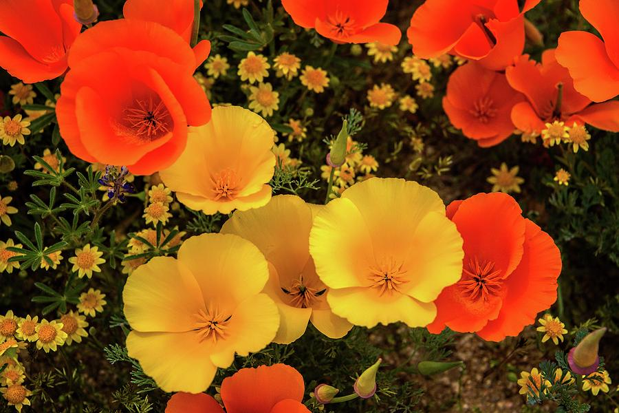 Yellow and Orange Poppies - Superbloom 2019 by Lynn Bauer