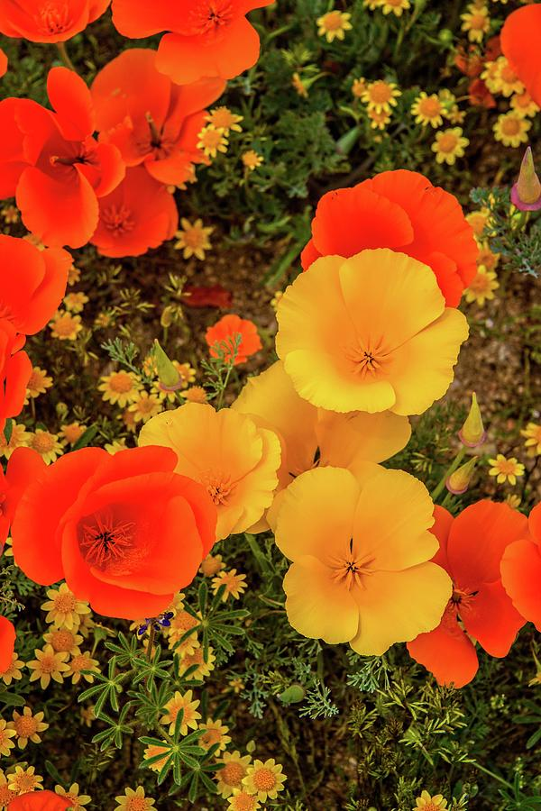 Yellow and Orange Poppies Vertical - Superbloom 2019 by Lynn Bauer