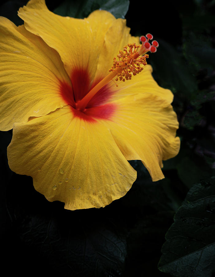 Yellow and Red Hibiscus by Karen and Phil Rispin