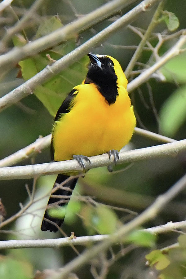 Yellow-backed Oriole  by Alan Lenk