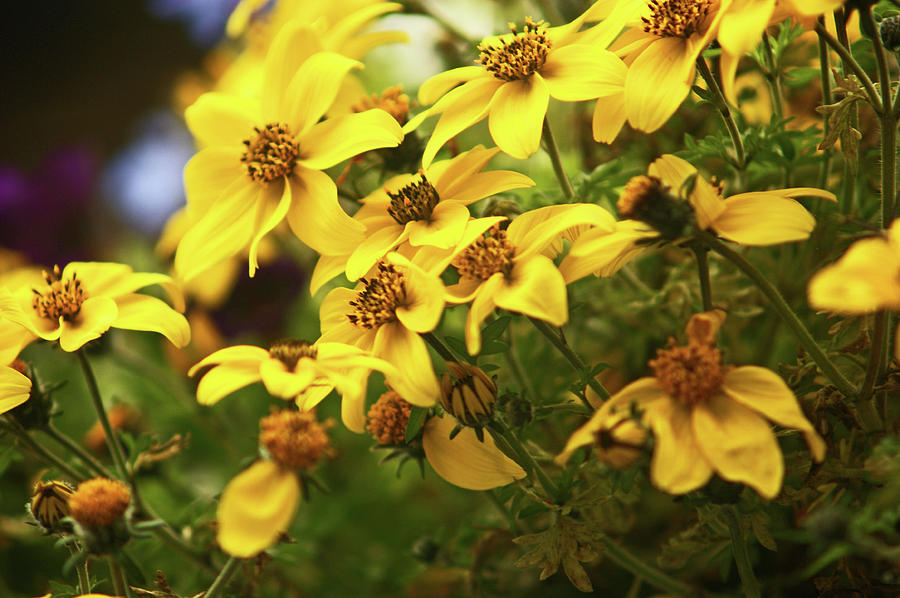 Yellow Bacopa by Lachlan Main