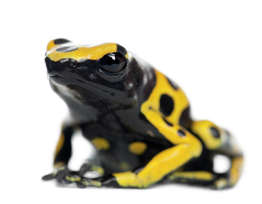 Yellow-banded Poison Dart Frog Photograph by Life On White