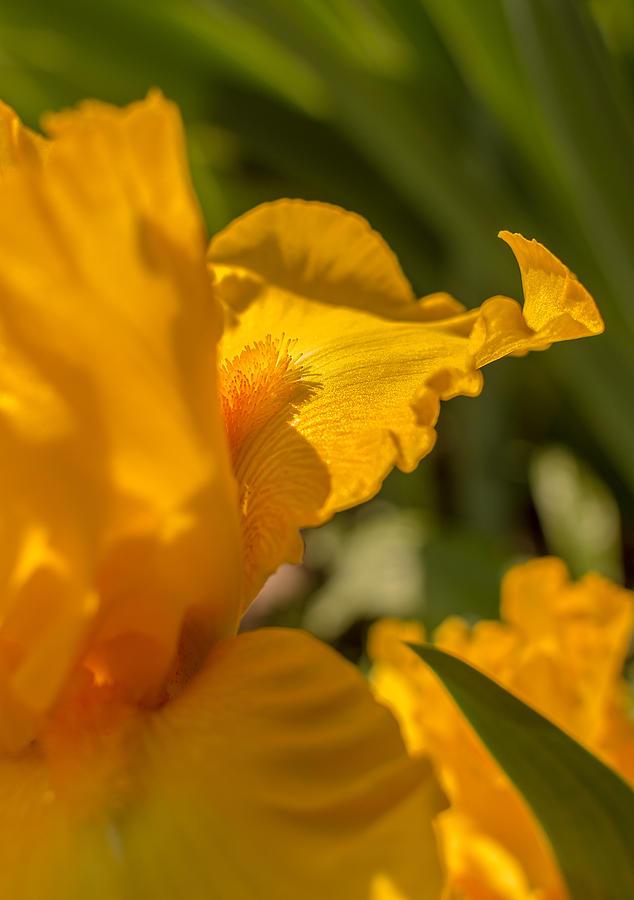 Yellow Bearded Iris by Keith Smith