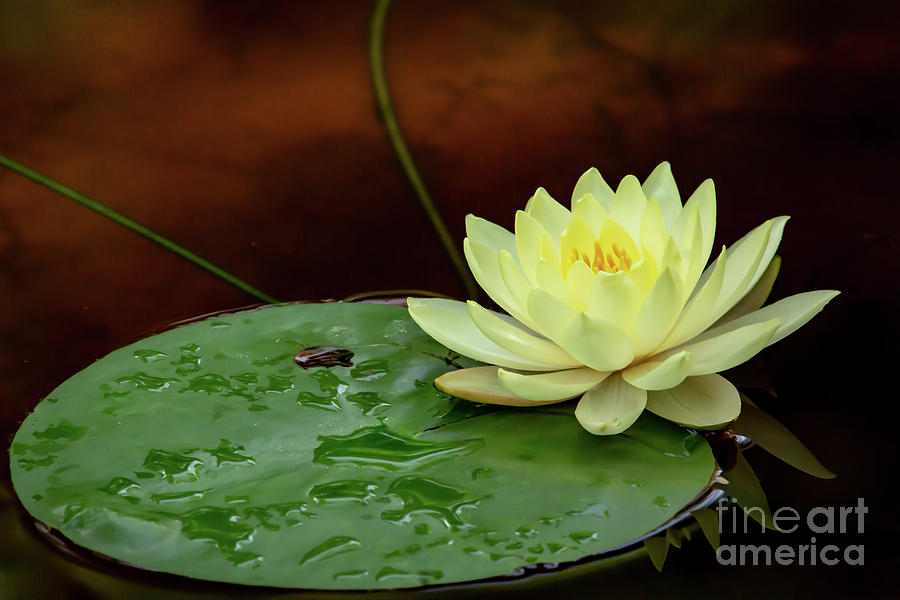 Yellow Beauty upon a Lily Pad by Sabrina L Ryan