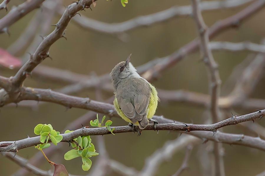 Yellow Photograph - Yellow-bellied Eremomela by Thomas Kallmeyer