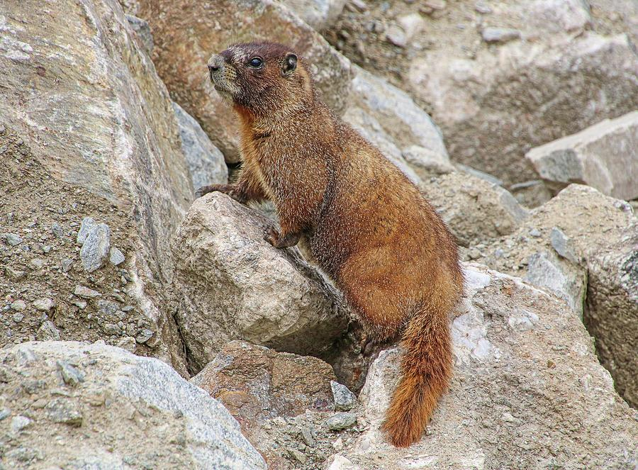 Yellow-bellied Marmot by Joseph Holub