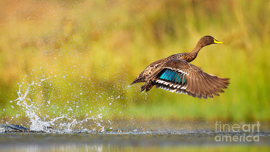 Feather Photograph - Yellow-billed Duck Taking Off From by Jmx Images