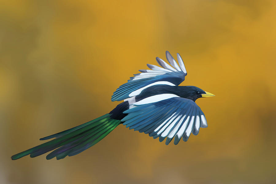Yellow-billed Magpie in Autumn by Mark Miller