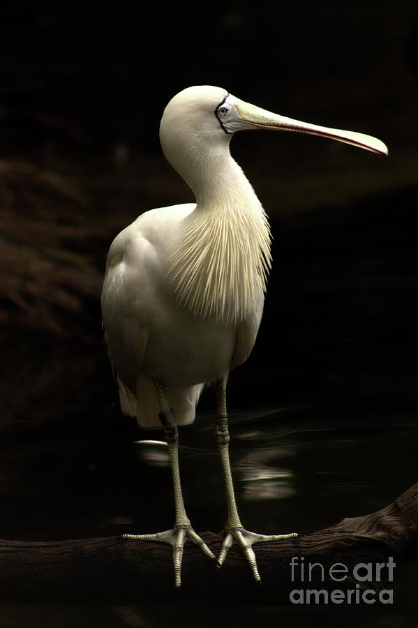 Yellow Billed Spoonbill by Carolyn Parker