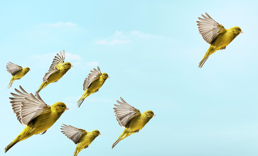 Yellow Bird Flying In-front And Higher Photograph by Pier