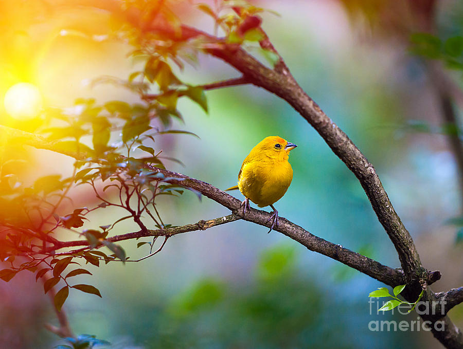 Southern Photograph - Yellow Bird Sitting On A Branch by Seqoya