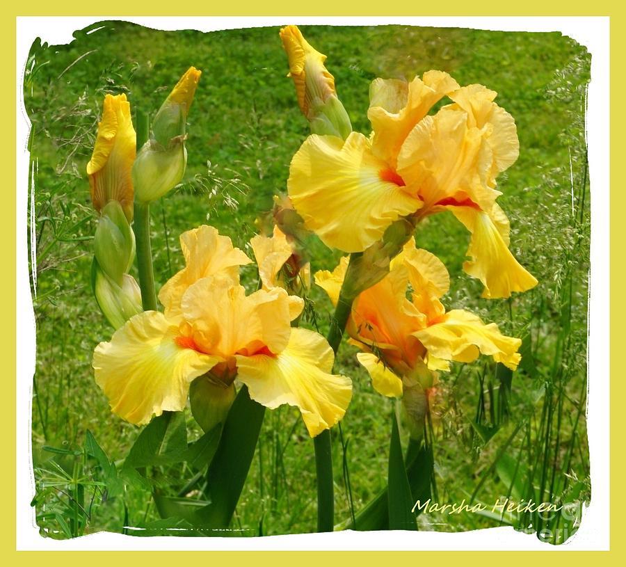 Photo Photograph - Yellow Bundle Of Irises by Marsha Heiken