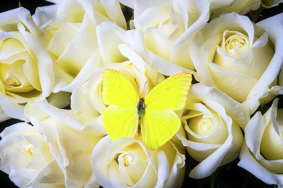 Yellow Butterfly Among White Roses by Garry Gay