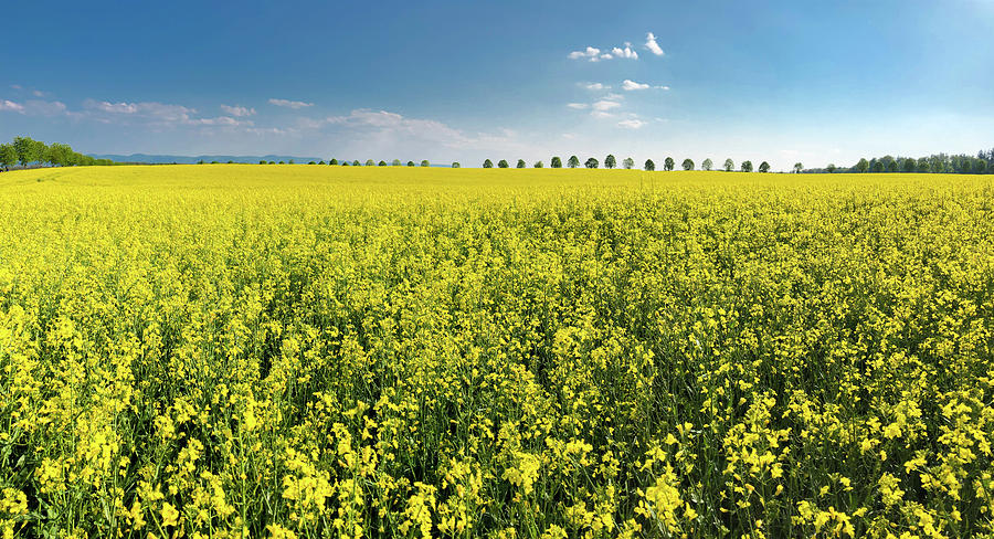Canola Photograph - Yellow Canola Field and blue Sky Spring Landscape by Matthias Hauser