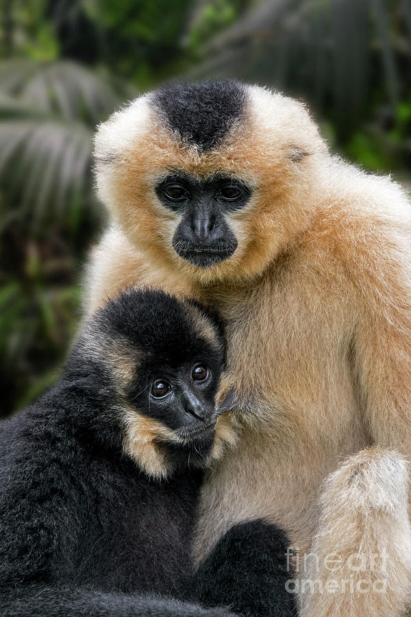 Yellow-cheeked Gibbon by Arterra Picture Library