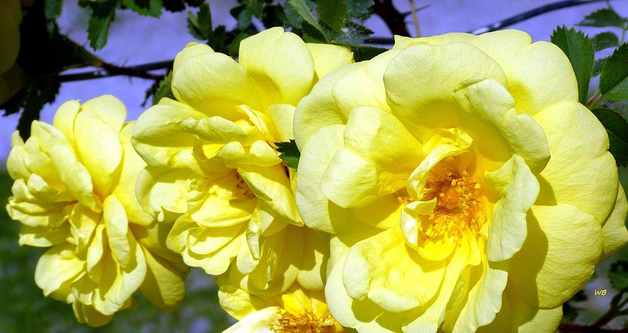 Yellow Climbing Roses by Will Borden