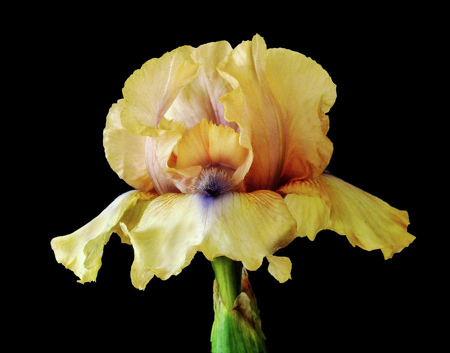 Yellow Concertina Bearded Iris by David and Carol Kelly
