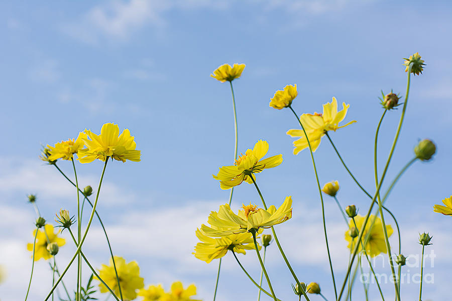 Beauty Photograph - Yellow Cosmos Flowers With Light Blue by Thatreec
