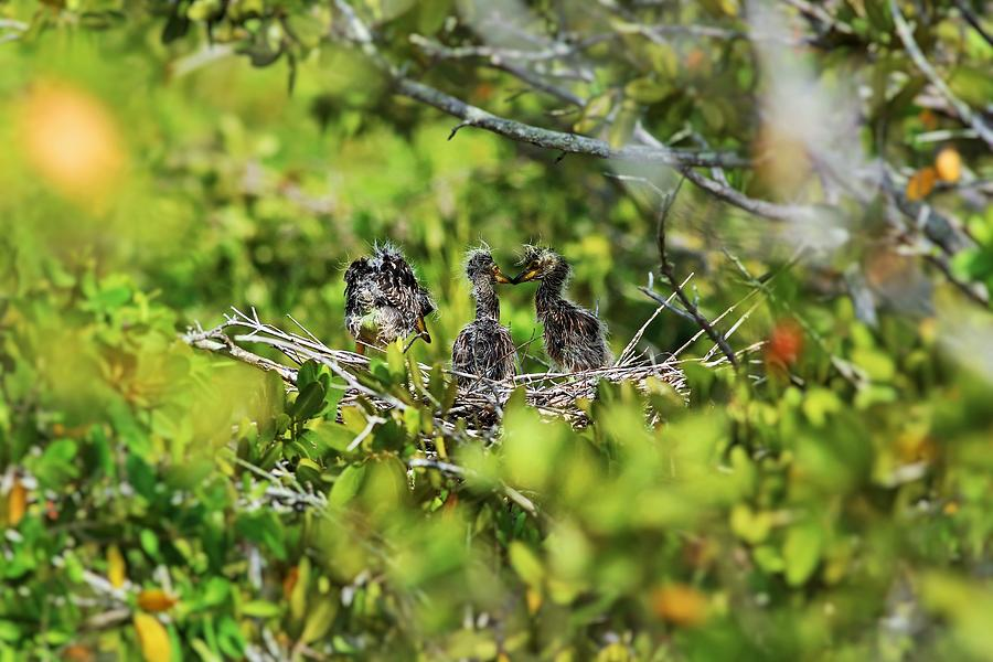 Yellow-crowned Night Heron Babies I by Michiale Schneider