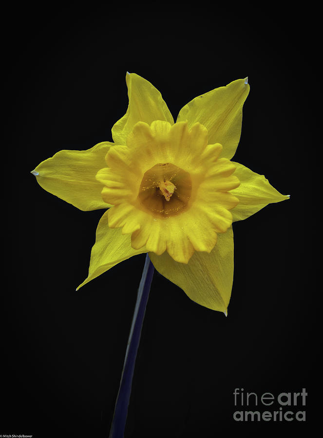 Yellow Daffodil by Mitch Shindelbower