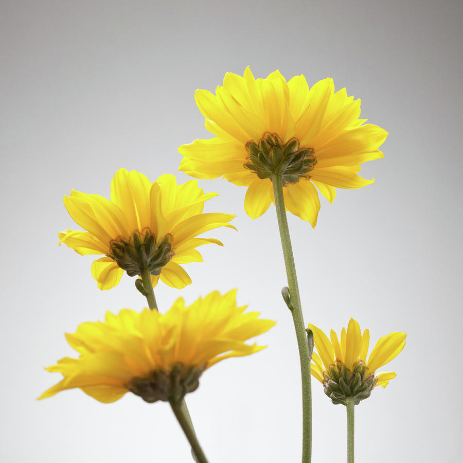 Yellow Daisies From Below Photograph by William Andrew