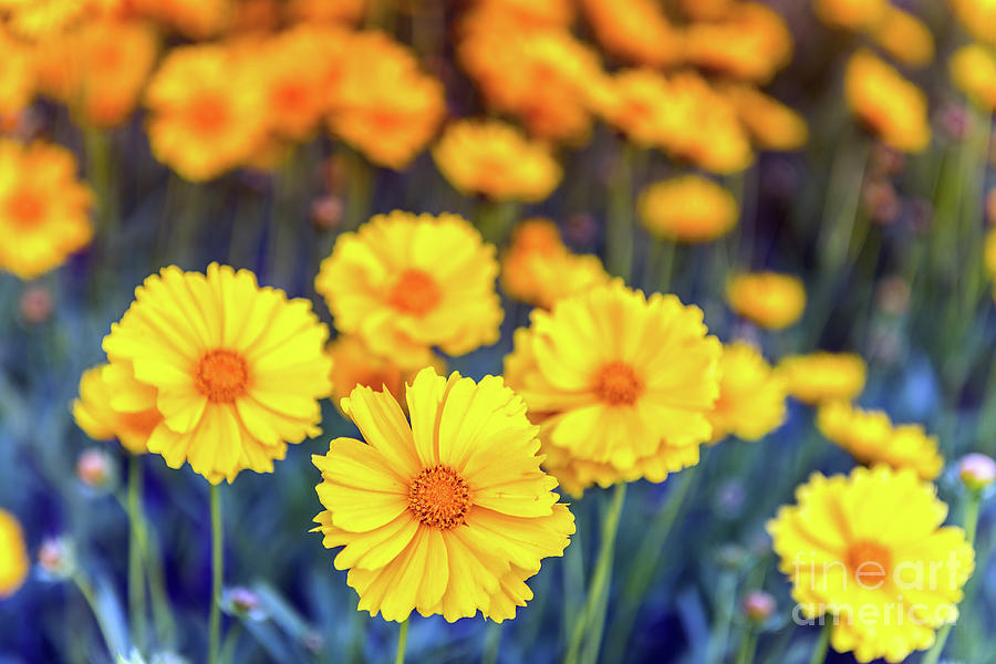 Yellow Daisy Flowers bloominng  in a field of blue during Spring by Patrick Wolf