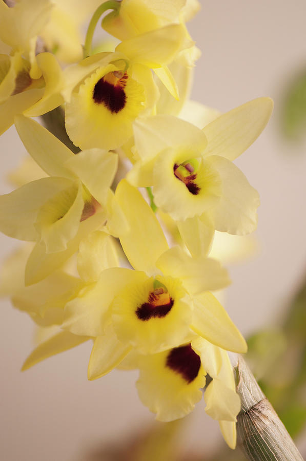 Yellow Dendrobium Nobile In Full Bloom Photograph by Maria Mosolova