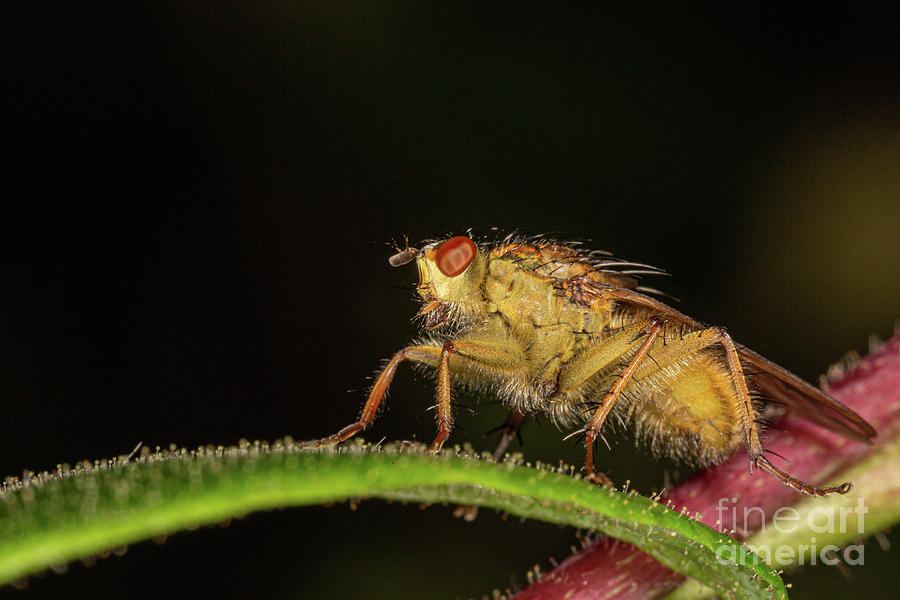 yellow Dung Fly by Brian Roscorla