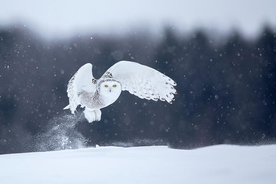 Snowy Photograph - Yellow Eyes by Alessandro Catta