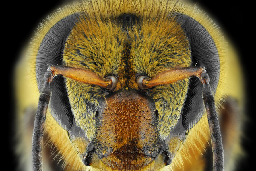 Macro Photograph - Yellow-faced Bee by Donald Jusa