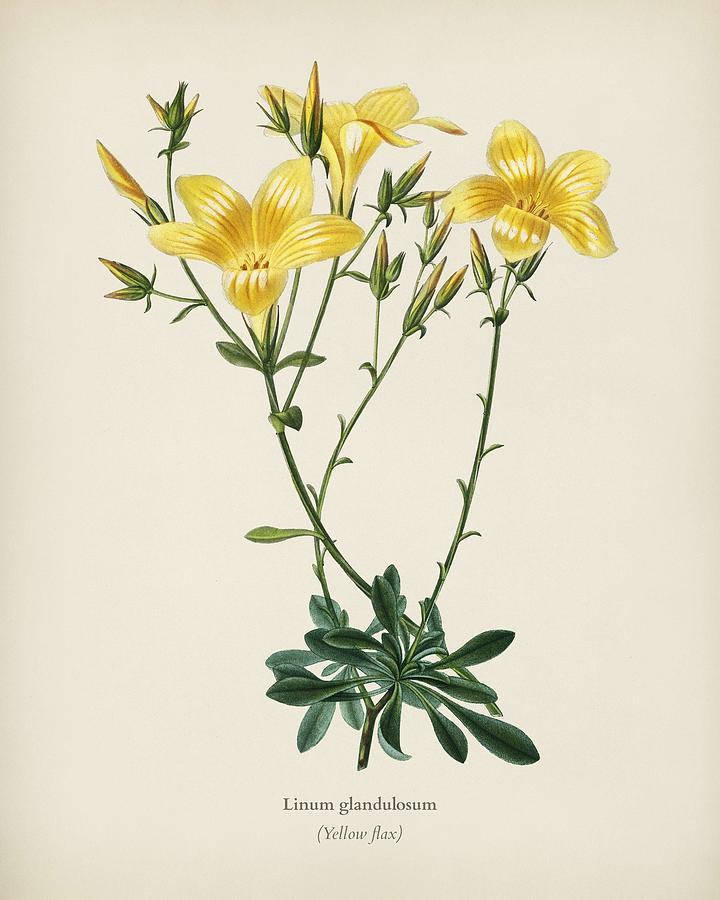 Yellow flax  Linum glandulosum  illustrated by Charles Dessalines D Orbigny  1806 1876  2 by Celestial Images