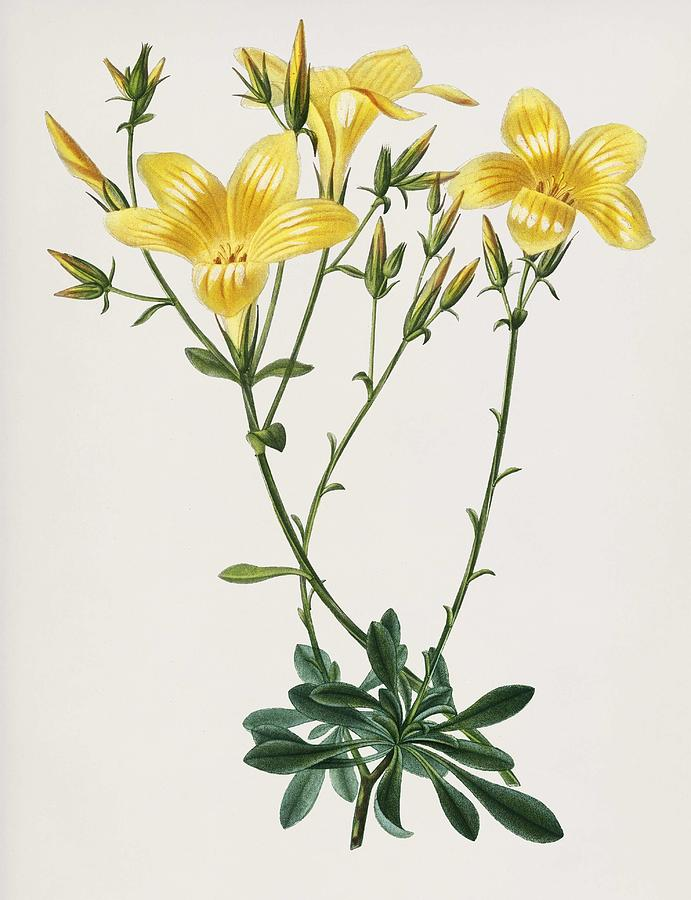Yellow flax  Linum glandulosum  illustrated by DesCharles salines D  Orbigny  1806 1876   by Celestial Images